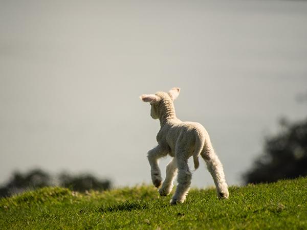 Waiheke Island Lamb